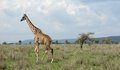 Walking giraffe in the savannah tanzania africa Stock Photos