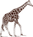 Walking giraffe vector image of a Royalty Free Stock Images