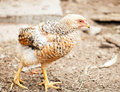 Walking hens Royalty Free Stock Photos