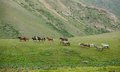 Walking herd of horses vivid green grass Royalty Free Stock Image