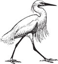 Walking heron Royalty Free Stock Photography