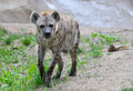 Walking hyena a young walks along the edge of some grass Stock Photos