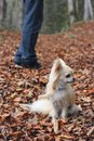 Walking a longhair chihuahua in autumn forrest Royalty Free Stock Photos