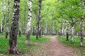 Walking pathway in the city birch park Royalty Free Stock Photo