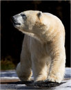 WALKING POLAR BEAR Royalty Free Stock Photography