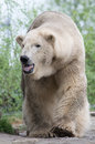 Walking polar bear ursus maritimus towards the viewer looking fierce Royalty Free Stock Images