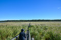 Walking in the reeds person walks on a wooden footpath through Royalty Free Stock Photography