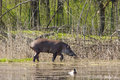Walking tapirs lowland tapir tapirus terrestris in marshy area Stock Image
