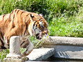 Walking tiger (Panthera Tigris) Royalty Free Stock Photography