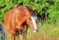 Walking welsh pony in the field evening Stock Photos