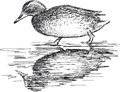 Walking wild duck vector drawing of the Stock Photography