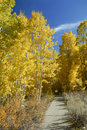 Walkway through aspens in autumn Stock Photos