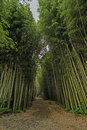Walkway in a Bamboo Forest