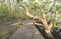 Walkway through mangroves forest wooden Stock Image