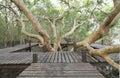 Walkway through mangroves forest wooden Stock Photos