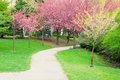 Walkway path with cherry trees in flower Stock Image