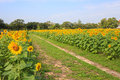 Walkway in sunflower farm Royalty Free Stock Photo