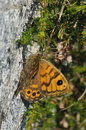 Wall Brown Butterfly Royalty Free Stock Photo