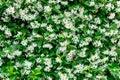 Wall of Chinese star jasmine flowers Trachelospermum jasminoides in bloom Royalty Free Stock Photo