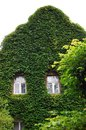 Wall covered by green plants except windows Stock Image