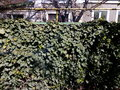 Wall covered with green spring leaves of ivy Royalty Free Stock Photo