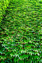 Wall of green ivy leaves Royalty Free Stock Photo