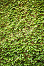 Wall with green ivy leaves plant covering a Royalty Free Stock Images