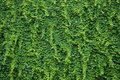 Wall with green ivy leaves plant covering a luscious Royalty Free Stock Images