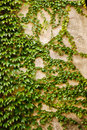 Wall with green ivy leaves plant partially covering a Stock Images