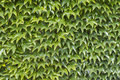 Wall of green leafs as background Stock Photography