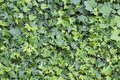 Wall Of Green Leaves Background In Spring Summer Royalty Free Stock Photo