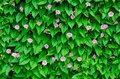 Wall of green leaves on the garden Royalty Free Stock Photo