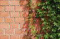 Wall with ivy Royalty Free Stock Photos
