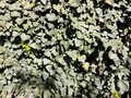 Wall of ivy green leaves of spring Royalty Free Stock Photo