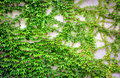 Wall with ivy Royalty Free Stock Photo