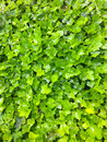 Wall of Ivy Royalty Free Stock Photo