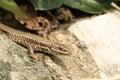 A Wall Lizard Podarcis muralis sunbathing on a stone wall. Royalty Free Stock Photo