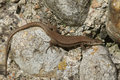 Wall Lizard (Podarcis muralis) sunbathing. Royalty Free Stock Photo