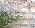 The wall old brick and green bush Royalty Free Stock Photography