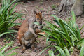 Wallaby feeding on leaves Royalty Free Stock Photo