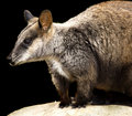 Wallaby isolated on black Stock Photos