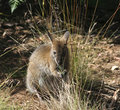 Wallaby Joey, Australia Royalty Free Stock Photo