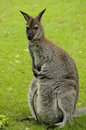 Wallaby met rode hals (de wallaby van Bennett) Royalty-vrije Stock Foto's