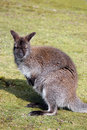 Wallaby sat in field staring Royalty Free Stock Images