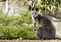 Wallaby wild australian native in the grampians region of victoria Royalty Free Stock Photos
