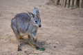 Wallaby a young wallabie standing still outdoors Royalty Free Stock Photos