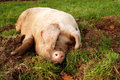 Wallowing Pig Stock Image