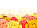 Wallpaper roses yellow and salmon before white Royalty Free Stock Photos