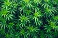 Cannabis farm cultivation wallpaper marijuana weed Royalty Free Stock Photo