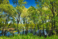 Wallpaper of trees in the swamp near Narew river, Royalty Free Stock Photo